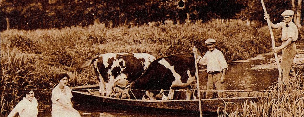 Transport de vaches